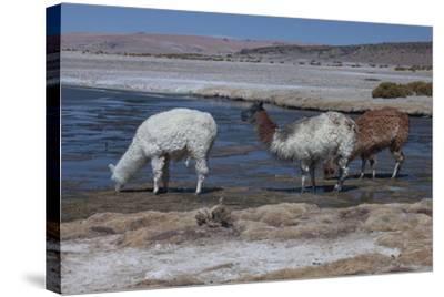 Chile, Pakana, Semi-Wild Llamas Drinking at the Tara Salt Lake-Mallorie Ostrowitz-Stretched Canvas Print