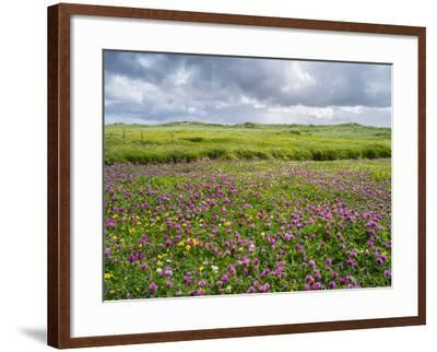Isle of Lewis, Machair with Red Clover (Trifolium Pratense). Scotland-Martin Zwick-Framed Photographic Print