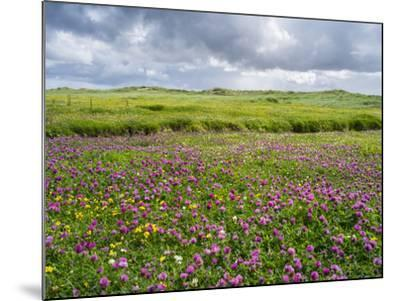 Isle of Lewis, Machair with Red Clover (Trifolium Pratense). Scotland-Martin Zwick-Mounted Photographic Print