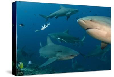 Bull Shark, Commercial Shark Feeding, Benga Lagoon, Viti Levu, Fiji-Pete Oxford-Stretched Canvas Print