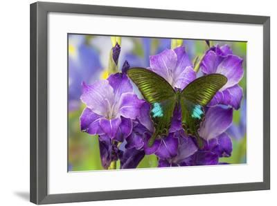 Common Peacock Swallowtail Butterfly, Papilio Polyctor-Darrell Gulin-Framed Photographic Print