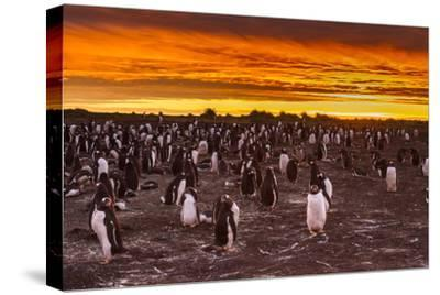 Falkland Islands, Sea Lion Island. Gentoo Penguins Colony at Sunset-Cathy & Gordon Illg-Stretched Canvas Print