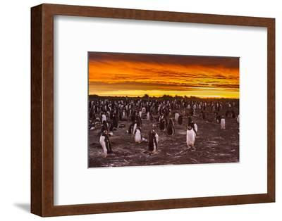 Falkland Islands, Sea Lion Island. Gentoo Penguins Colony at Sunset-Cathy & Gordon Illg-Framed Photographic Print