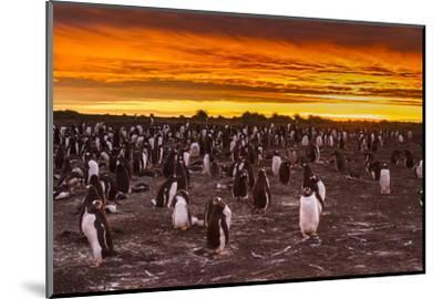 Falkland Islands, Sea Lion Island. Gentoo Penguins Colony at Sunset-Cathy & Gordon Illg-Mounted Photographic Print