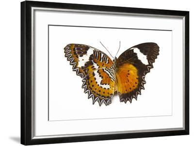 The Leopard Lacewing Butterfly, Comparing the Top and Bottom Wings-Darrell Gulin-Framed Photographic Print