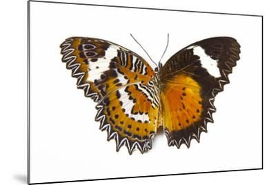 The Leopard Lacewing Butterfly, Comparing the Top and Bottom Wings-Darrell Gulin-Mounted Photographic Print