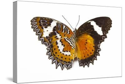 The Leopard Lacewing Butterfly, Comparing the Top and Bottom Wings-Darrell Gulin-Stretched Canvas Print
