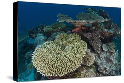 Coral Reef Diversity, Rainbow Reef, Fiji-Pete Oxford-Stretched Canvas Print