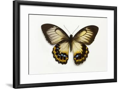 Orchard Swallowtail Butterfly Female, Wing Top and Bottom-Darrell Gulin-Framed Photographic Print