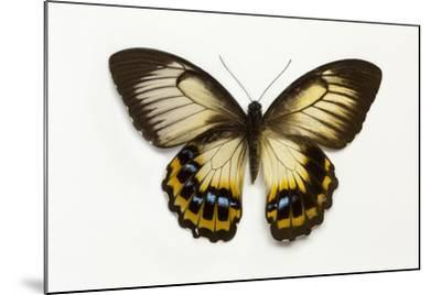 Orchard Swallowtail Butterfly Female, Wing Top and Bottom-Darrell Gulin-Mounted Photographic Print