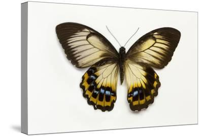 Orchard Swallowtail Butterfly Female, Wing Top and Bottom-Darrell Gulin-Stretched Canvas Print