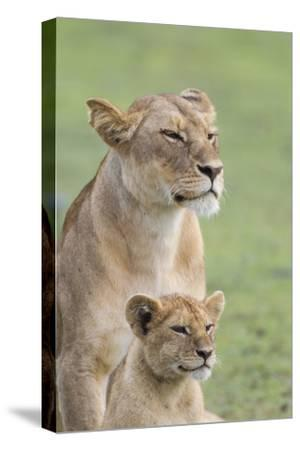 Lioness with its Female Cub, Standing Together, Side by Side-James Heupel-Stretched Canvas Print