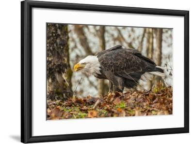 USA, Alaska, Chilkat Bald Eagle Preserve. Bald Eagle on Ground-Cathy & Gordon Illg-Framed Photographic Print