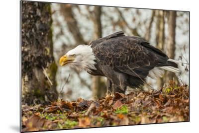 USA, Alaska, Chilkat Bald Eagle Preserve. Bald Eagle on Ground-Cathy & Gordon Illg-Mounted Photographic Print