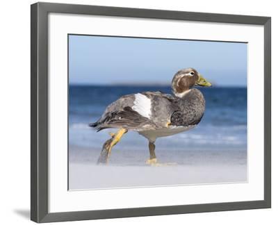 Falkland Flightless Steamer Duck. Male and Female. Falkland Islands-Martin Zwick-Framed Photographic Print