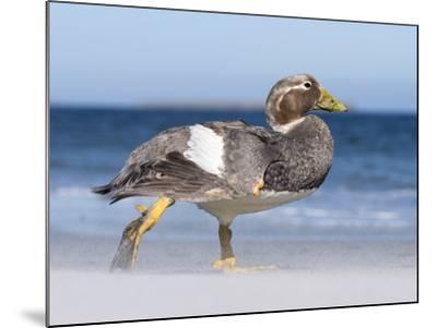 Falkland Flightless Steamer Duck. Male and Female. Falkland Islands-Martin Zwick-Mounted Photographic Print
