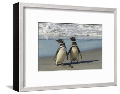 Falkland Islands, Sea Lion Island. Magellanic Penguins on Beach-Cathy & Gordon Illg-Framed Photographic Print