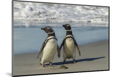 Falkland Islands, Sea Lion Island. Magellanic Penguins on Beach-Cathy & Gordon Illg-Mounted Photographic Print