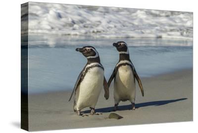Falkland Islands, Sea Lion Island. Magellanic Penguins on Beach-Cathy & Gordon Illg-Stretched Canvas Print
