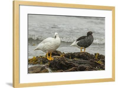 Falkland Islands, Carcass Island. Pair of Kelp Geese-Cathy & Gordon Illg-Framed Photographic Print