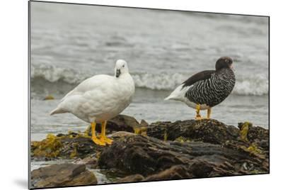 Falkland Islands, Carcass Island. Pair of Kelp Geese-Cathy & Gordon Illg-Mounted Photographic Print
