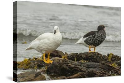 Falkland Islands, Carcass Island. Pair of Kelp Geese-Cathy & Gordon Illg-Stretched Canvas Print