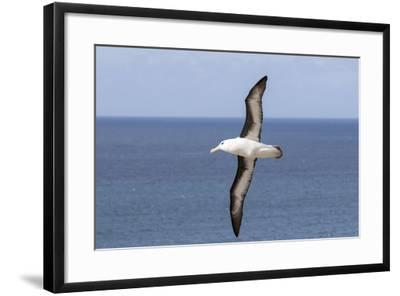 Black-Browed Albatross or Mollymawk, Flight Shot. Falkland Islands-Martin Zwick-Framed Photographic Print
