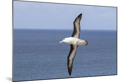 Black-Browed Albatross or Mollymawk, Flight Shot. Falkland Islands-Martin Zwick-Mounted Photographic Print