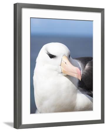 Black-Browed Albatross or Mollymawk, Portrait. Falkland Islands-Martin Zwick-Framed Photographic Print