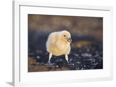 Falkland or Brown Skua or Subantarctic Skua Chick. Falkland Islands-Martin Zwick-Framed Photographic Print