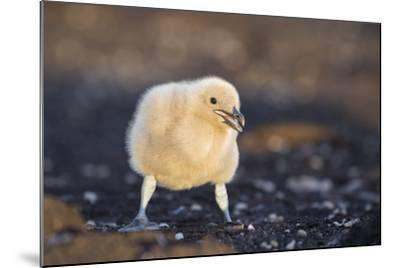 Falkland or Brown Skua or Subantarctic Skua Chick. Falkland Islands-Martin Zwick-Mounted Photographic Print