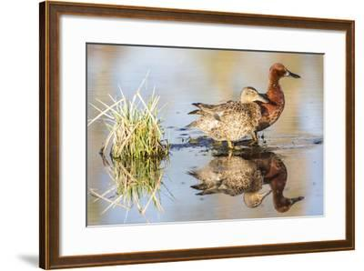 Wyoming, Sublette, Cinnamon Teal Pair Standing in Pond with Reflection-Elizabeth Boehm-Framed Photographic Print