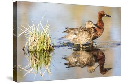 Wyoming, Sublette, Cinnamon Teal Pair Standing in Pond with Reflection-Elizabeth Boehm-Stretched Canvas Print