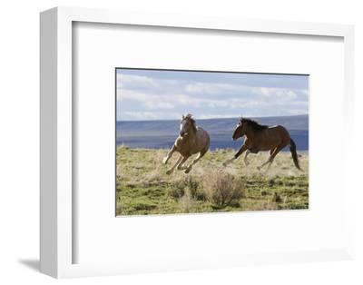 Wild Horses. Fighting Stallions, Steens Mountains, Oregon-Ken Archer-Framed Photographic Print