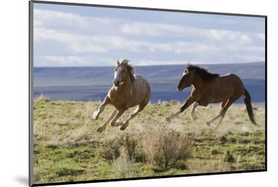 Wild Horses. Fighting Stallions, Steens Mountains, Oregon-Ken Archer-Mounted Photographic Print