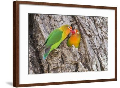 Two Fischer's Lovebirds Nuzzle Each Other, Ngorongoro, Tanzania-James Heupel-Framed Photographic Print