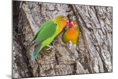 Two Fischer's Lovebirds Nuzzle Each Other, Ngorongoro, Tanzania-James Heupel-Mounted Photographic Print
