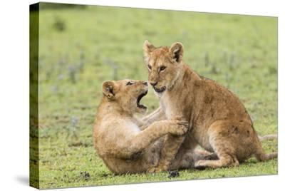 Two Lion Cubs Play, Ngorongoro, Tanzania-James Heupel-Stretched Canvas Print