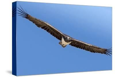 Etosha National Park, Namibia. Martial Eagle in Flight-Janet Muir-Stretched Canvas Print