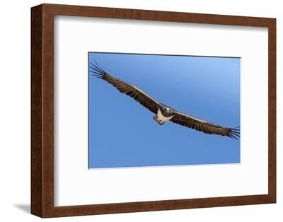 Etosha National Park, Namibia. Martial Eagle in Flight-Janet Muir-Framed Photographic Print