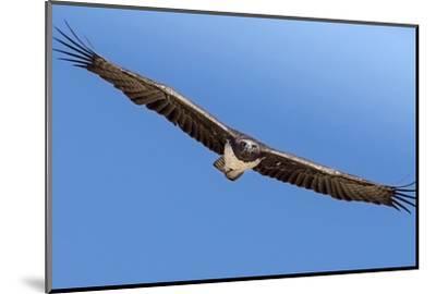 Etosha National Park, Namibia. Martial Eagle in Flight-Janet Muir-Mounted Photographic Print