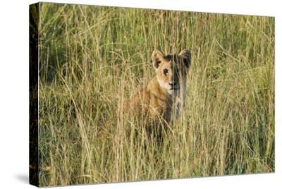 Kenya, Maasai Mara, Mara Triangle, Mara River Basin, Lion Cubs-Alison Jones-Stretched Canvas Print