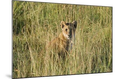 Kenya, Maasai Mara, Mara Triangle, Mara River Basin, Lion Cubs-Alison Jones-Mounted Photographic Print
