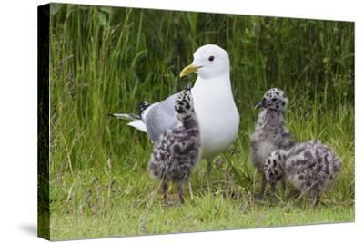 Mew Gull with Chicks-Ken Archer-Stretched Canvas Print
