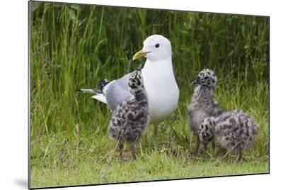 Mew Gull with Chicks-Ken Archer-Mounted Photographic Print