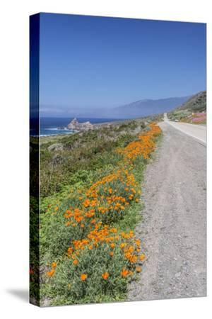 USA, California, Near Big Sur, California Poppies, Along Highway 1-Rob Tilley-Stretched Canvas Print
