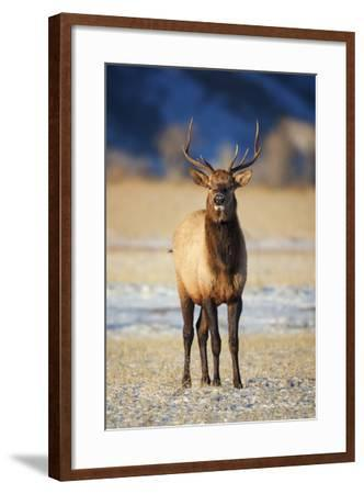 Wapiti, Wyoming. USA. Young Bull Elk-Janet Muir-Framed Photographic Print