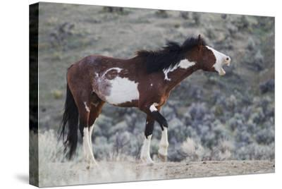 Wild Horses. Steens Mountains, Oregon-Ken Archer-Stretched Canvas Print