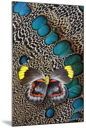 Single Delias Butterfly Underside on Malayan Peacock-Pheasant Feathers-Darrell Gulin-Mounted Photographic Print