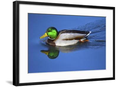 Male Mallard, Reflection, Commonwealth Lake Park, Beaverton, Oregon-Michel Hersen-Framed Photographic Print